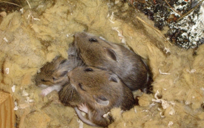 mice-infestation