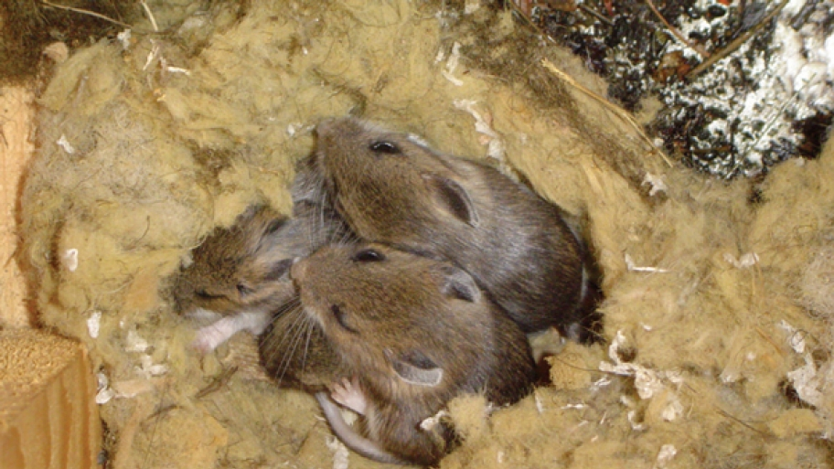 Dealing With Rats And Mice In Your Home