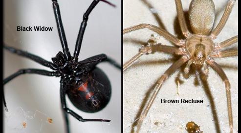 black widow vs brown recluse spiders